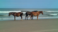 Stock Video Footage of wild stallion and mares by sea