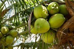 green coconut on tree or cocos nucifera linn - stock photo