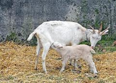 Goat suckling lamb on a farm in tuscany Stock Photos