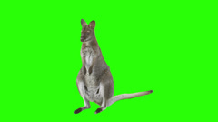 Kangaroo in front of green screen - stock footage