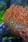 Very colorful clown fish and marine red algae Stock Photos