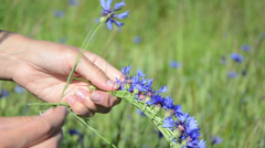 Girl hands gather bluebottle flowers and make crown wreath Stock Footage