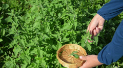 Herbalist hand pick balm herb plant leaves in garden Stock Footage