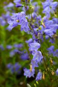 closeup of bellflower with nature medow beckground - stock photo
