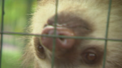 Two Toed Sloth in Cage CU Stock Footage