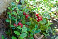 Stock Photo of lingonberry shrub with berries