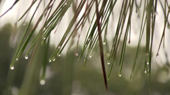 Pine needles in the rain Stock Footage