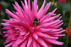 Flower Bumble Bee - stock photo