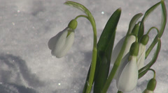 Closeup detail snow drop park bunch of garden flower blossom spring fresh white  Stock Footage