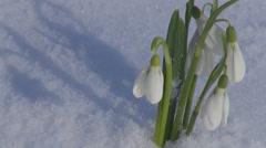 Close-up snow drop snow park wildlife garden flower blossom seasonal spring Stock Footage