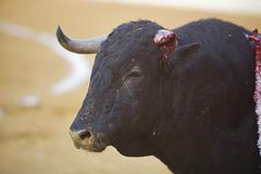 capture of the figure of brave bull with a fractured horn in a bullfight - stock photo