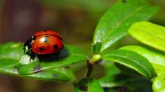 Ladybug on a leaf Stock Footage