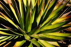 Agave palona with needle sharp leaves, Stock Photos