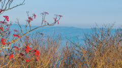 Red Berries and Dead Bushes with Blue Ridge Mountain Backdrop Stock Footage