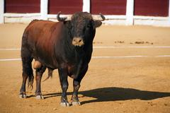 Capture of the figure of a brave bull in a bullfight - stock photo