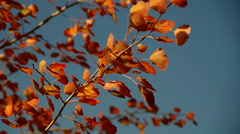 Red Leaves - stock footage