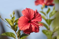 Flower hibiscus Stock Photos