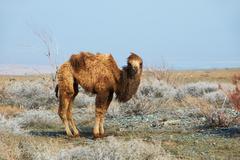 Small camel in the desert Stock Photos
