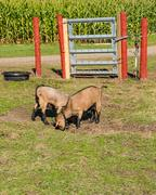 Pygmy goats in a pasture Stock Photos