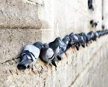 Pigeons in a row Stock Photos