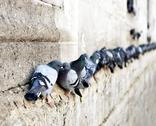 Stock Photo of pigeons in a row