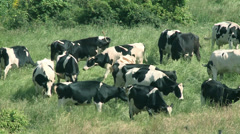 Agriculture cows-01 Stock Footage