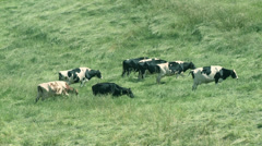 Agriculture cows-03 Stock Footage
