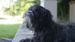Hairy dog resting in park - Shih Tzu black dog Stock Footage