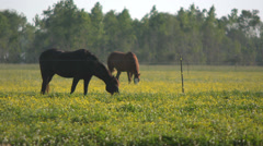 Two Brown Horses Stock Footage