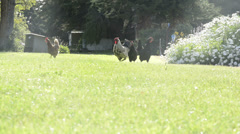 Chickens on farm Stock Footage