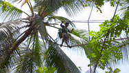 Stock Video Footage of kandy, sri lanka - apr 17: professional coconut picker moves on the top of pa