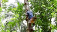 Stock Video Footage of kandy, sri lanka - apr 17: professional coconut picker moves onpalm trunk on