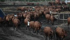 Brown cow out of the pen for cattle Stock Footage