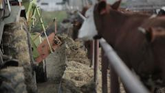 Feeding cows mixed fodder from the tractor 2 Stock Footage