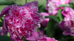 Dewy red peony flower bloom move in wind Stock Footage