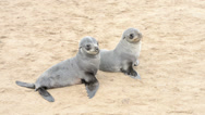 Stock Video Footage of two funny fur seals on a sand beach