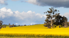 Canola fields pan Stock Footage