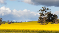 Stock Video Footage of canola fields pan