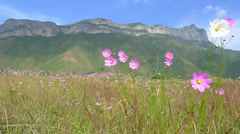 Pink Cosmos bipinnatus blowing in the wind,with the beautiful Gemu holy mountain Stock Footage
