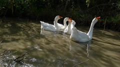 White geese swimming and singing in a little pond Stock Footage