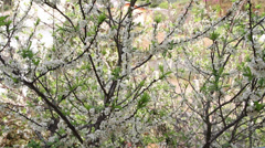 Flowering plums-02 Stock Footage