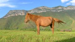 Brown horse eating grass on the pasture, with the beautiful Gemu holy mountain Stock Footage