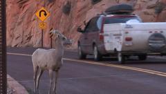Bighorn Sheep and Traffic 4 at Zion National Park Stock Footage