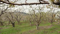 Dolly Back, Apricot Blossoms, Okanagan Stock Footage