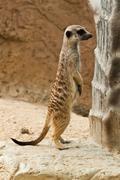meerkat . - stock photo