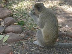 Primate in Zambia Stock Photos