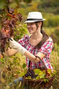 Woman harvesting grapes Stock Photos