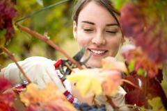 vintner harvesting grapes - stock photo
