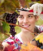 Young woman cutting a bunch of grapes Stock Photos