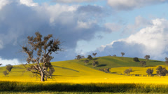 Canola field and tree Stock Footage